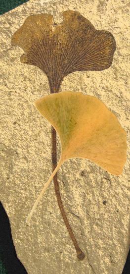 A folha em forma de leque emblemática da árvore de ginkgo preservada como um fóssil de 49 milhões de anos com folha de outono moderna sobreposição. Atribuição da imagem: O fóssil é da formação da montanha de Klondike, república, condado da balsa, Washington, EUA, Eocene, Ypresian. Coleção do Centro Interpretativo Stonerose (https://commons.wikimedia.org/wiki/File%3AGinkgo_biloba_leaf_01.jpg) A foto moderna da folha é por Ninjatacoshell https://commons.wikimedia.org/wiki/File%3AAutumn_Ginkgo_Leaf.jpg CC BY-SA via Wikimedia Commons