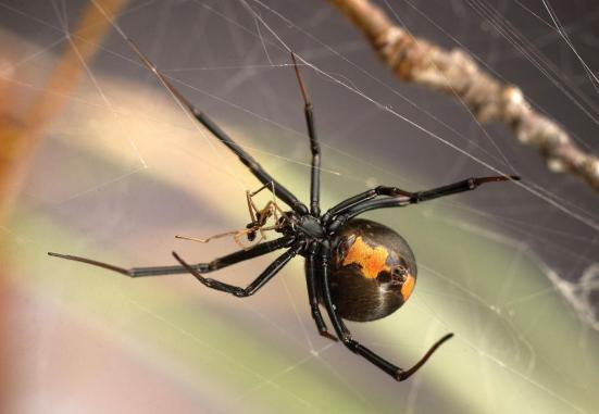 Uma fêmea de viúva-negra canibalizando um macho.