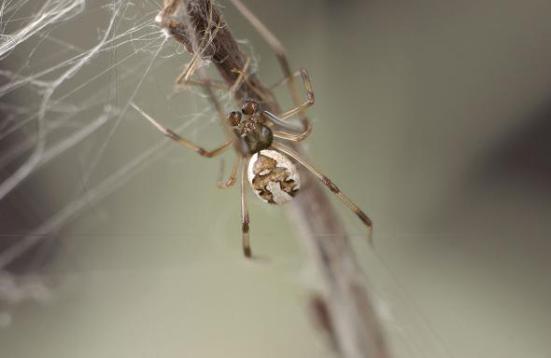 Um redback masculino adulto entra em uma teia. Em 1996, Maydianne Andrade descobriu que os encontros sexuais entre aranhas vermelhas são mais longos se o macho se permitir ser canibalizado.