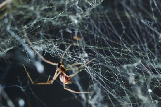 Uma viúva marrom fêmea tende a sua correia fotorreceptora. As aranhas masculinas podem tropeçar nas Web de fêmeas imaturas ao procurar adultos.
