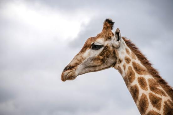 A girafa (Giraffa camelopardalis) está agora ameaçada de extinção. Crédito: © yuplex / Fotolia.