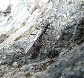 Perlário (Plecoptera) de água fria