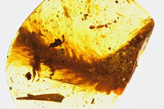 Um segmento da cauda emplumada de um dinossauro que viveu há 99 milhões de anos é preservado em âmbar. Uma formiga do Cretáceo e detritos de plantas também foram presos na resina. Fotografia por R.C. Mckellar, Museu Royal Saskatchewan