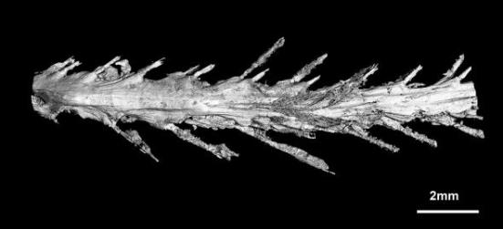 Uma varredura da parte inferior da cauda mostra o arranjo de penas. Fotografia por Lida Xing