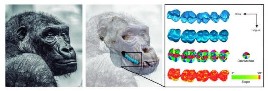 Esses mapas digitais digitalizados a laser de dentes de um gorila visualizam a forma, a orientação ea informação da inclinação. Ao traçar as encostas e os penhascos sobre os dentes dos animais como se fossem cordilheiras, cientistas do Museu Nacional de História Natural do Smithsonian criaram uma nova e poderosa maneira de aprender sobre as dietas de animais extintos a partir do registro fóssil. A nova abordagem quantitativa para a análise da dentição, relatada em 21 de novembro na revista Methods in Ecology and Evolution, também dará aos pesquisadores uma visão mais clara de como os animais evoluem em resposta a mudanças no seu ambiente. Crédito: Silvia Pineda-Muñoz, Smithsonian