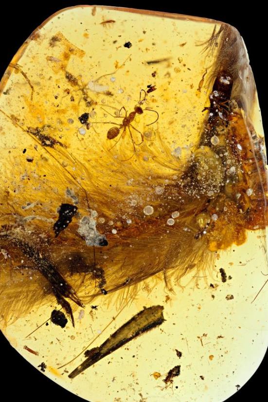 A amostra âmbar, de uma mina em Mianmar, já tinha sido parcialmente moldada em um oval por um fabricante de jóias. Fotografia por R.C> Mckellar, Museu Real de Saskatchewan.
