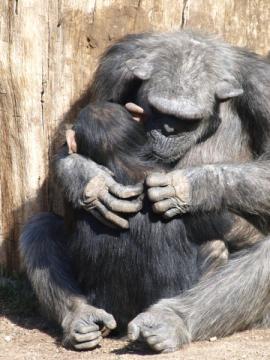 Mãe chimpanzé que prepara seu bebê. Como as crianças humanas, os chimpanzés jovens aprendem muitos comportamentos de suas mães, de quais alimentos comer, como usar ferramentas, e - entre as mães que se dedicam a ele - como realizar grooming alto-braço. (Imagem conservada em estoque) Crédito: © efesan / Fotolia
