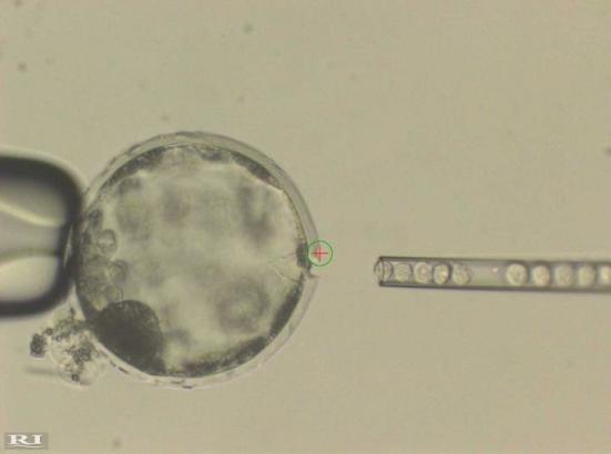 Esta fotografia mostra a injeção de células iPS humanas em um blastocisto de porco. Utilizou-se um feixe de laser (círculo verde com uma cruz vermelha no interior) para perfurar uma abertura para a membrana externa (Zona Pellucida) do blastocisto de porco para permitir o acesso fácil de uma agulha de injecção que fornece células iPS humanas. Crédito: Cortesia de Juan Carlos Izpisua Belmonte.