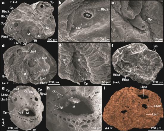 Saccorhytus coronarius gen. Et sp. Nov. Da Formação Cambriana de Kuanchuanpu, no Sul da China. Em A, Lado direito com a boca (M) arqueada dorsalmente ao longo do eixo antero-posterior. Em B, padrão Chevron (Ch) na superfície interna do tegumento; C mostra espinhos (Sp) perto da boca. D, lado esquerdo. Em E, detalhe da boca dorsalmente arqueada e dobrada com dobras radiais (Rf) e protrusões orais (Op). Em F, poros circulares (Cp) na parte dorsal, lado direito; G, vista ventral, mostrando cones do corpo (Bc) dispostos bilateralmente ao redor do anterior, incluindo a boca. Dois poros circulares são adjacentes aos primeiros cones do corpo (Bc1) e um pequeno poro circular está na linha ventral média do corpo. Em H, protrusões orais sem extremidades distais e aparecendo como um círculo de poros; e I, mostra uma vista esquerda reconstruída por dados de tomografia em microcomputador.