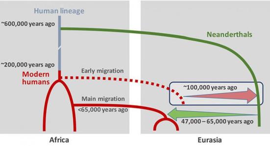 Este cenário mostra como depois de ancestrais humanos dividirem-se dos ancestrais dos neandertais, os dois grupos se cruzaram, pelo menos, duas vezes nos últimos 100 mil anos atrás, logo depois que os humanos modernos surgiram e deixaram a África pela primeira vez e depois novamente entre 47 e 65 mil anos atrás. Fonte: Science Magazine