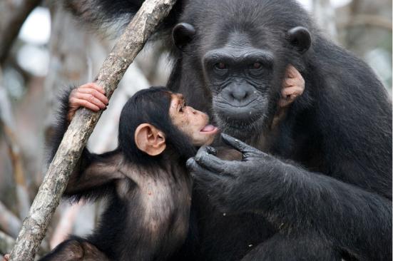 Descrição da ilustração: Chimpanzé fêmea com um bebê. Os chimpanzés sabem o certo do errado. (Imagem). Crédito: © gudkovandrey / Fotolia