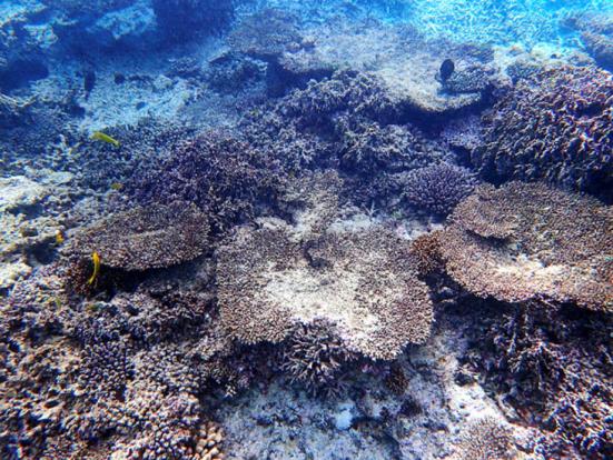 Brown algas cobre coral morto por branqueamento na área Sekiseishoko da Prefeitura de Okinawa nesta foto tirada em 21 de dezembro. (Fornecido pelo Ministério do Meio Ambiente).