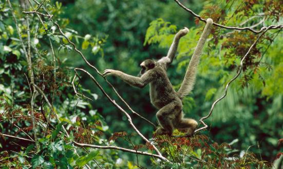 O muriqui-do-norte (Brachyteles hypoxanthus) criticamente ameaçado, escalando em copa na Mata Atlântica, Minas Gerais, no Brasil. Fotografia: Imagens de Luciano Candisani / Minden / Corbis