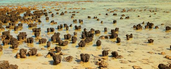 Stromatolite formada por antigos microrganismos procarióticos. Imagem: totajla / Shutterstock.com