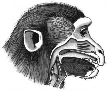 Com seu trato vocal, seria fácil para os macacos produzir muitos sons de linguagem diferentes. Crédito: Tecumseh Fitch / Universidade de Viena