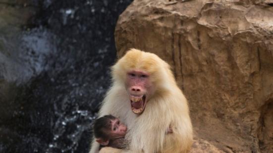 Os pesquisadores dizem que os babuínos podem fazer sons de vogais como os humanos, o que, segundo eles, pode levar a uma melhor compreensão da evolução da fala humana.
