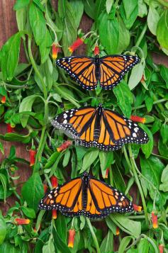 Acima uma borboleta vice-rei (Limenitis archippus) e no meio e abaixo são monarcas (Danaus plexippus)