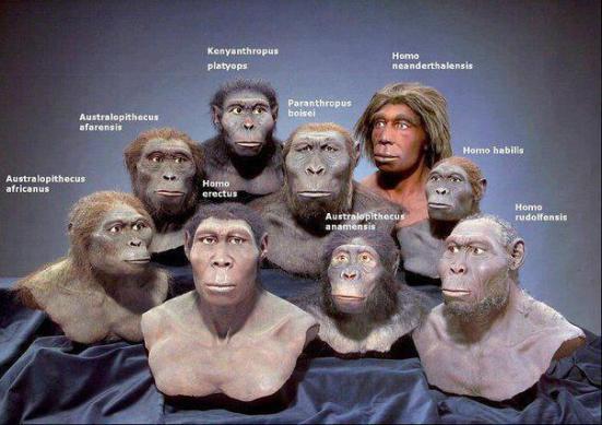 Representação científico/artística dos hominíneos onde nota-se a neotenia se tornando mais evidente.