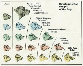 Pedomorfia em cães