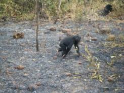 Os chimpanzés não podem fazer fogo, mas compreendem claramente o seu comportamento. Jill Pruetz.